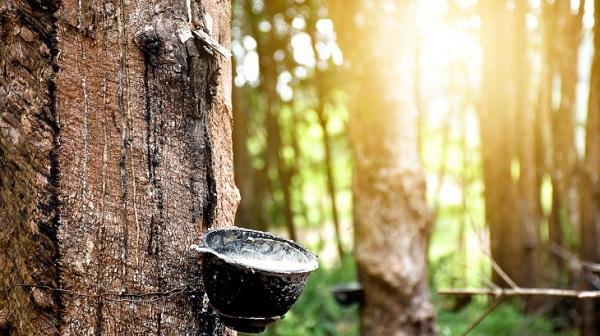 Cao su thiên nhiên là gì? Đặc điểm và ứng dụng trong sản xuất chăn ga gối đệm